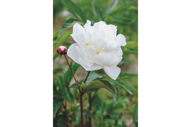 Paeonia lactiflora 'Florence Ellis' c. Jason Ingram