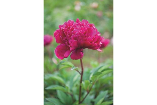 Paeonia lactiflora 'Karl Rosenfeld' c. Jason Ingram
