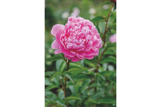 Paeonia lactiflora 'Pink Cameo' c. Jason Ingram