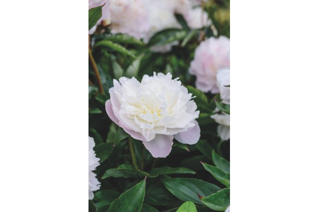 Paeonia lactiflora 'Shirley Temple' c. Jason Ingram