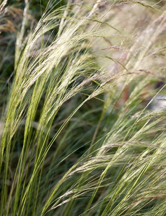 Stipa tenuissima in Carolyn Grohmann's small Edinburgh garden