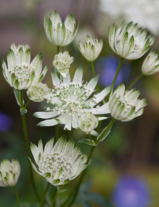 Astrantia 'Superstar' (Masterwort 'Superstar')