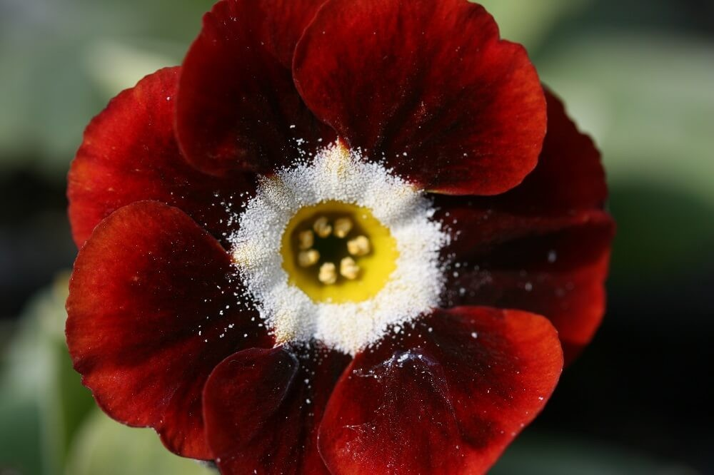 Auricula Dales Red Resize (1)