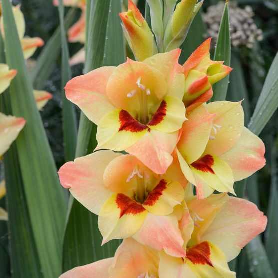 Gladiolus 'Sylvia'