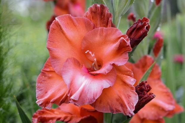 Gladiolus 'Bimbo'