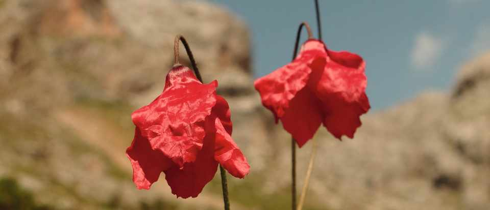 Poppies which could be at risk from climate change