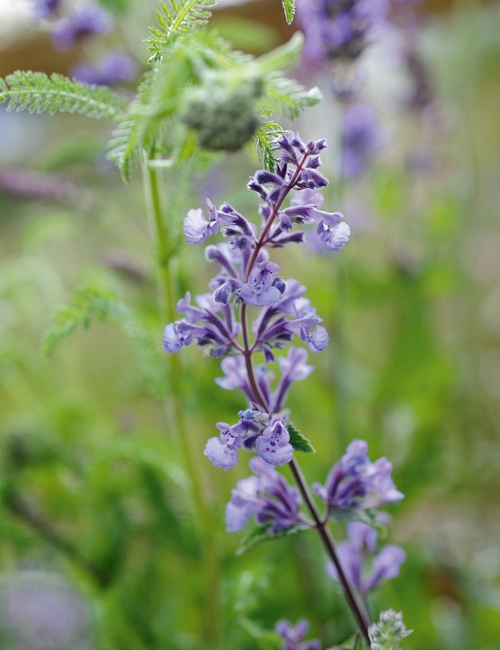 Nepeta racemosa 'Walkers Low'
