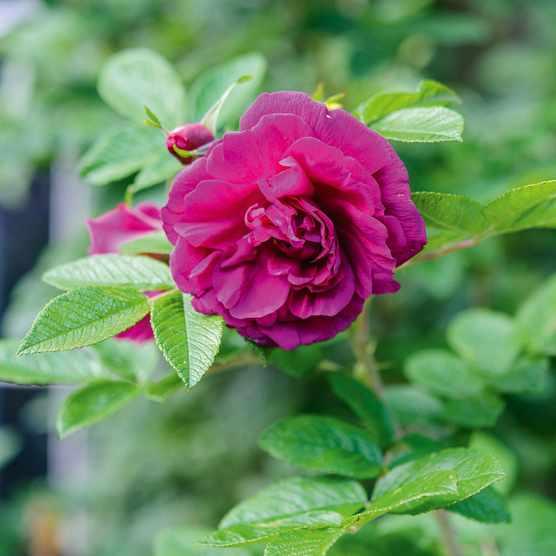 Rosa 'Roseraie de l'Haÿ'