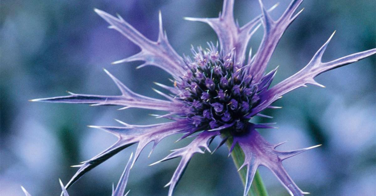 Eryngium Picos Blue