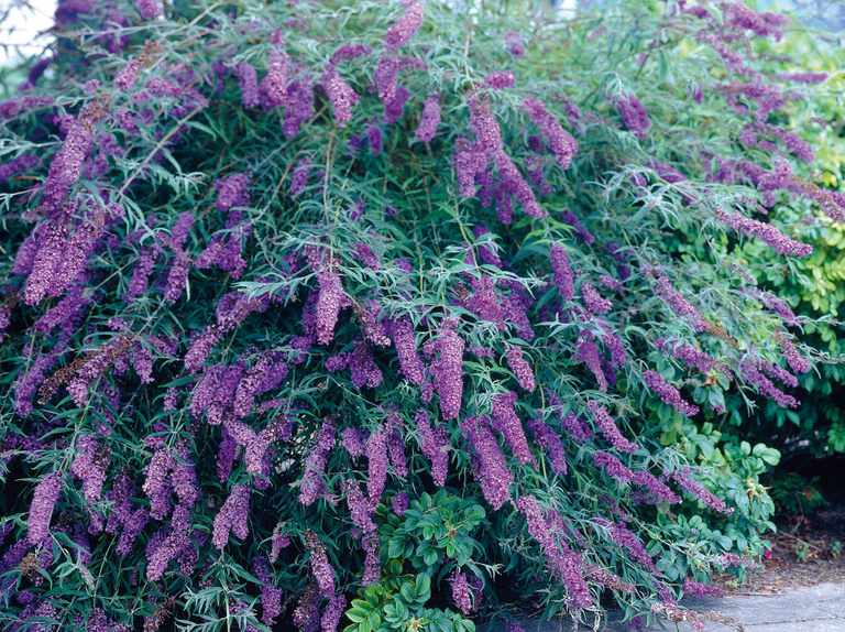 How to prune buddleja and shrubs
