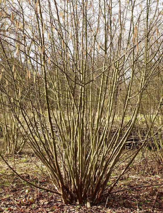 Winter hazel, five years after coppicing