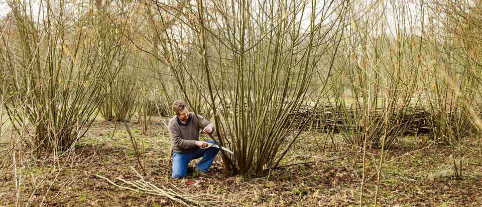 Coppicing hazels