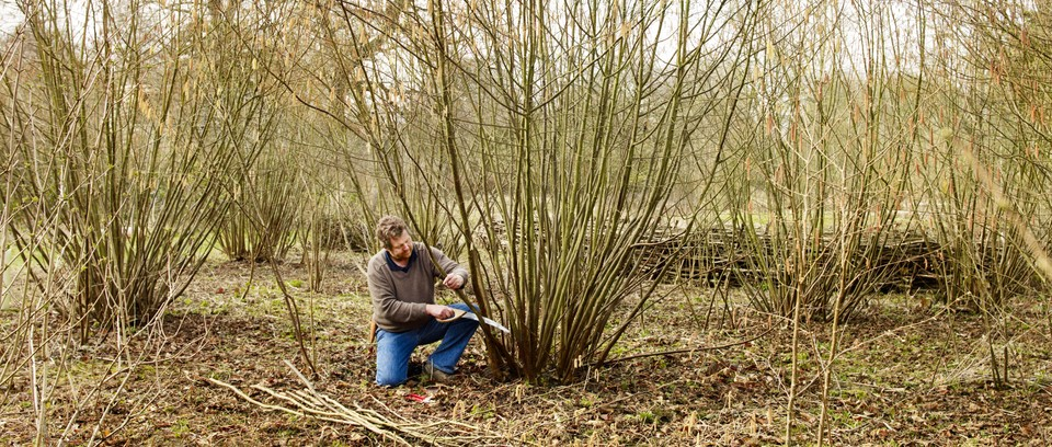 Why You Should Coppice And Prune Trees Gardens Illustrated