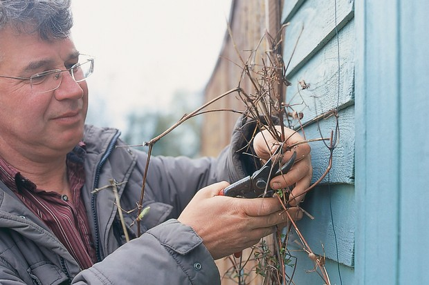 Shorten previously cut stems to 5cm from the old wood. Prune back any new long shoots that are growing away from the supporting structure