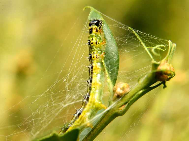 Box tree moth caterpillar solution found by National Trust