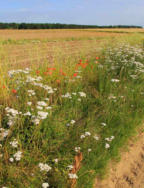 Wildflowers roadside verge in Suffolk