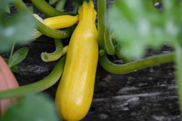 Courgette 'Burpees Golden'