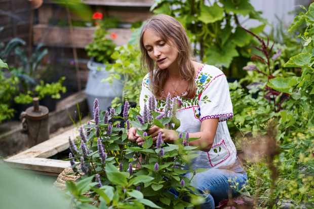 Anna Greenland harvesting Anise Hyssop