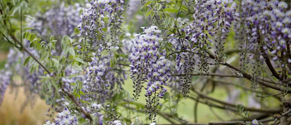 If you follow a strict pruning regime for your wisteria, you will be rewarded with showy pendant racemes of fragrant flowers.
