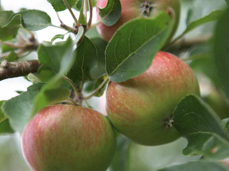How to prune apple and pear trees, figs, plums and blackcurrants