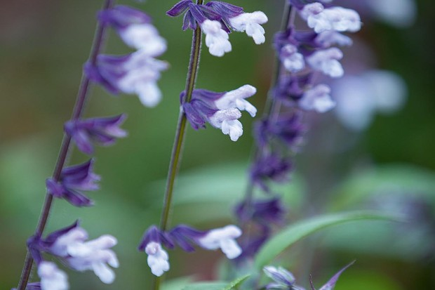 Salvia 'Phyllis's Fancy', Perennial
