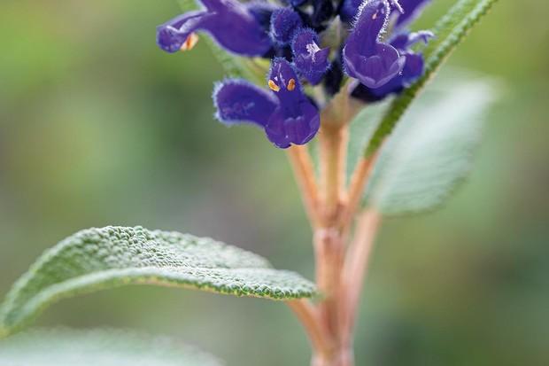 Salvia corrugata, Perennial