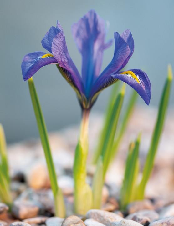 Iris 'Evening Twilight' (Reticulata)