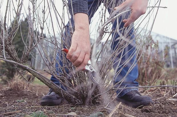 Deciduous pruning