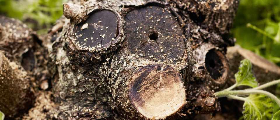 Foxglove tree cut back