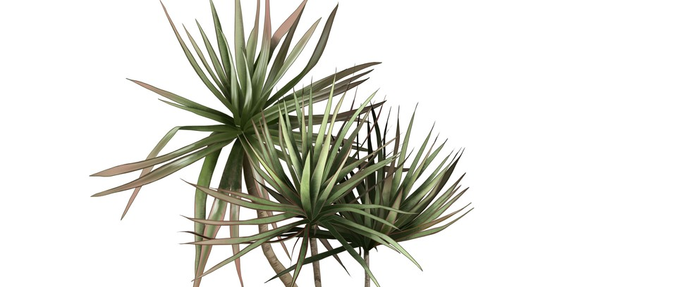 How To Look After A Dragon Plant Indoors Gardens Illustrated,Kitchen Helper Stool Ikea