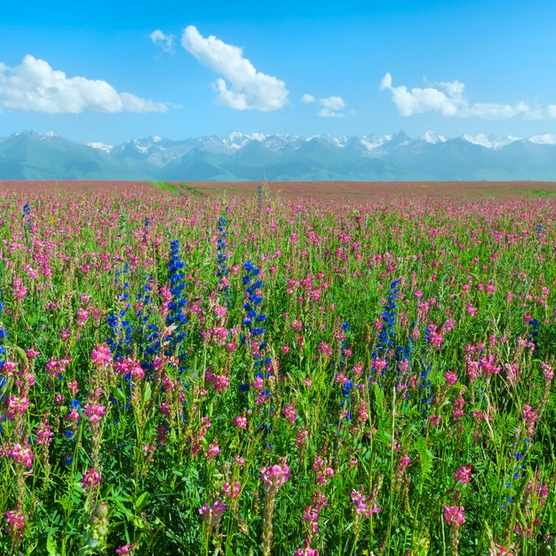 Wildflowers field in front of Tien Shan Mountain Range, Road to Song Kol Lake, Naryn province, Kyrgyzstan, Central Asia