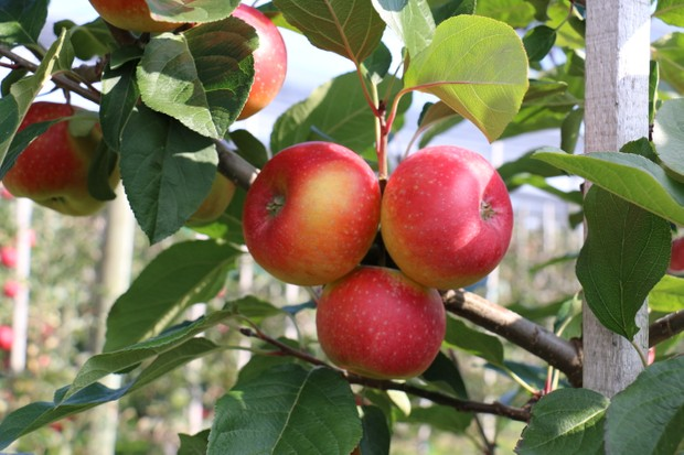 Apple Paradis The Forbidden Apple
