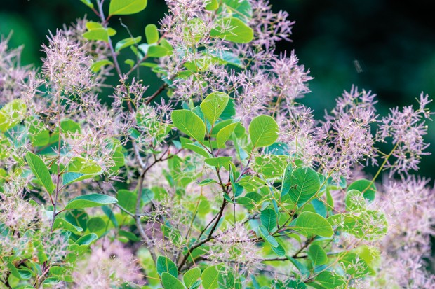 Cotinus coggygria 'Pink Champagne'