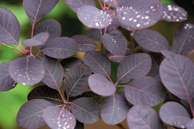 Cotinus coggygria 'Notcutt's Variety'