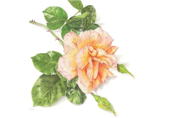 Janie Pirie's rose drawings