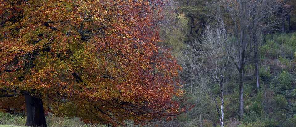 Ash trees at Westonbirt