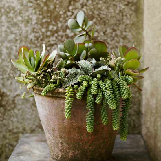 How To Look After Your Blue Star Fern Phlebodium Aureum Gardens