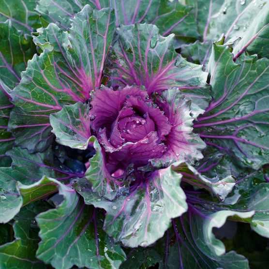 Buttonhole Kale