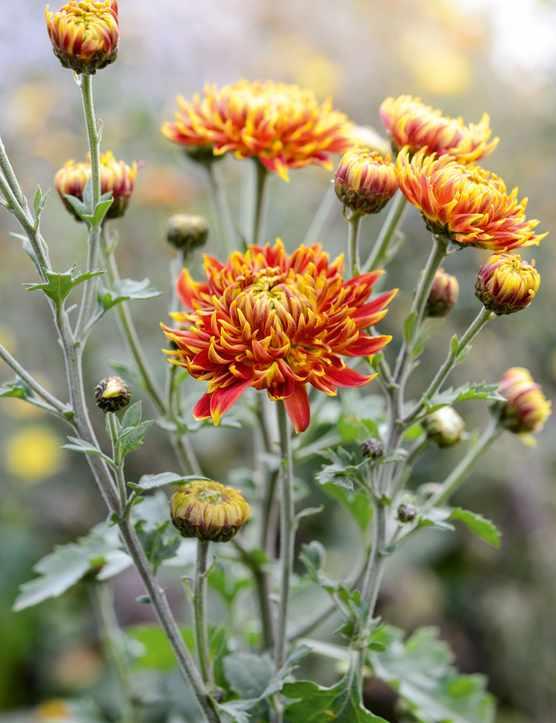 Chrysanthemum 'Granatapfel'