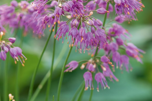 November flowers: Allium thunbergii Ozawa