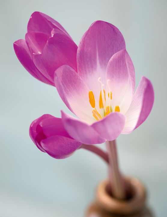 Colchicum speciosum 'Rubrum'