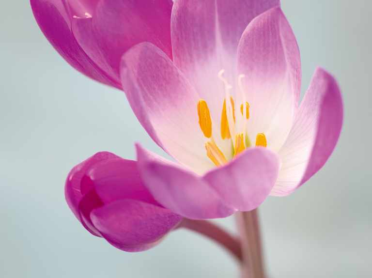 The best colchicums for your garden