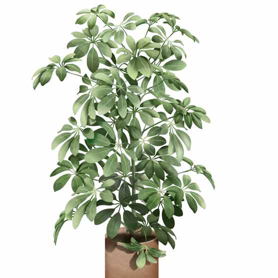 Umbrella plant or Schefflera