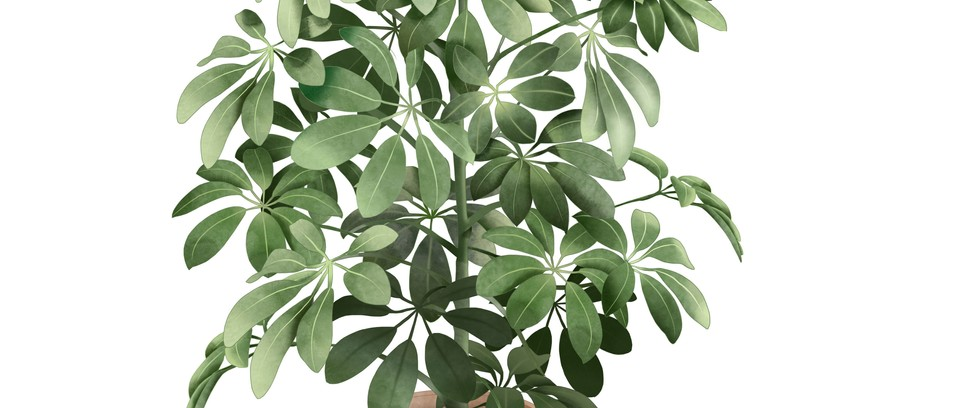 Schefflera And Umbrella Houseplants And How To Grow Them Gardens Illustrated