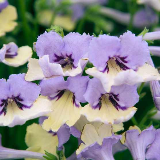 Close-up of flowers of Streptocarpus 'Harlequin Blue'. Chelsea Plant of the Year 2010.