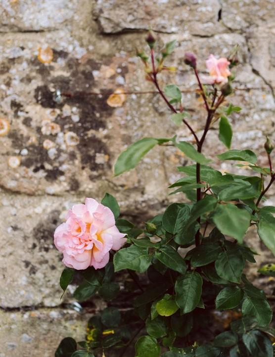ragrant, pale-pink, apricot-flushed climbing rose