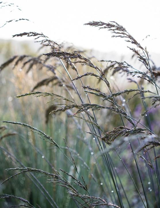Molinia caerulea subsp. caerulea 'Dauerstrahl'