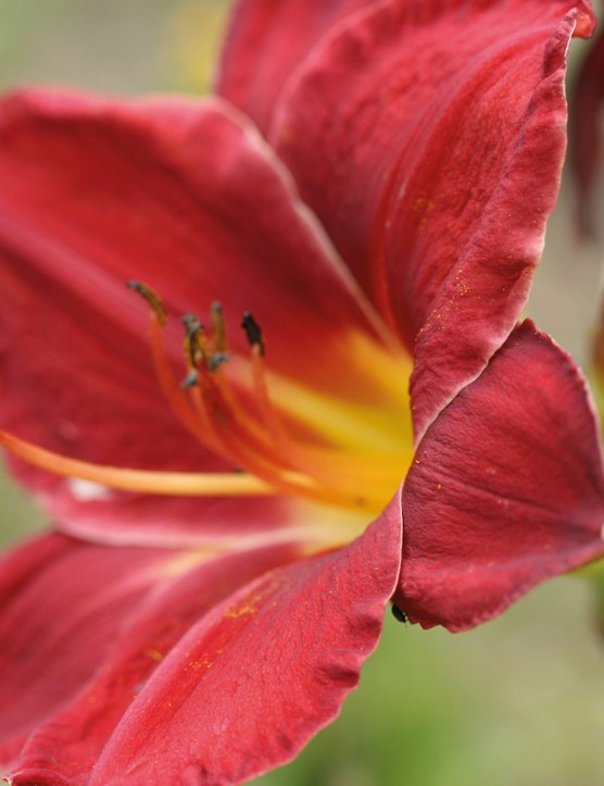 Hemerocallis James Marsh
