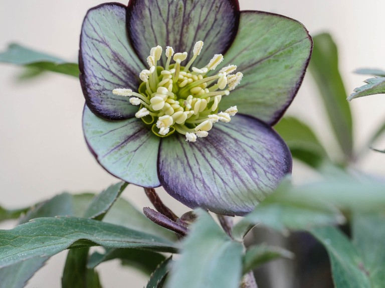 Hellebores Which Species Hellebore Should You Grow And Hellebore