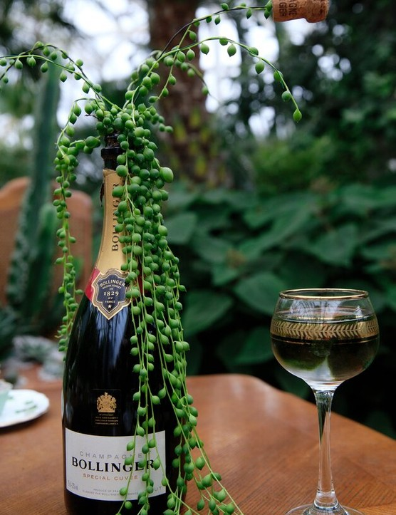 A bottle of champagne, planted with Senecio